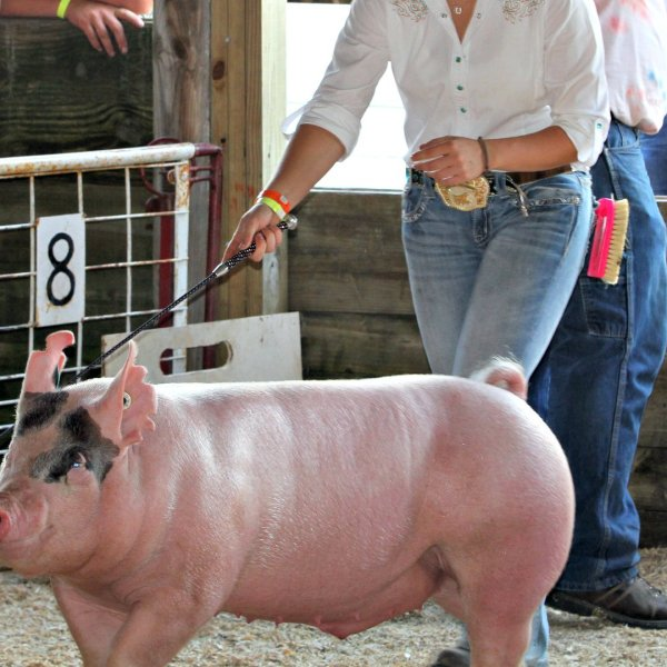 Junior Fair Market Hog Show