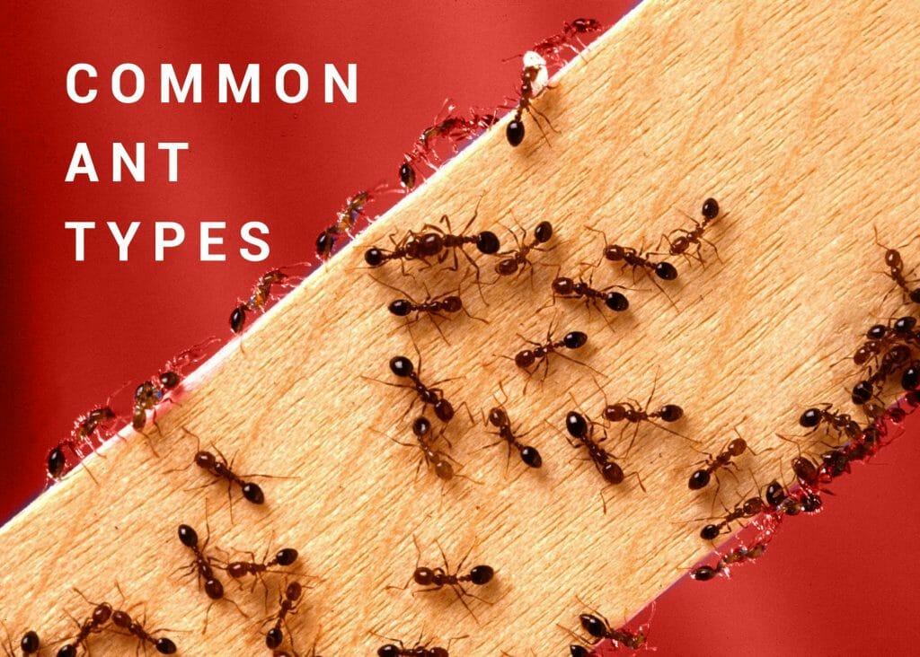 Common Ant Types Dodson Pest Control