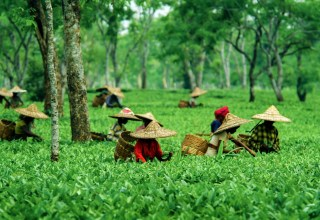 This is why people love to see the beautiful Assam