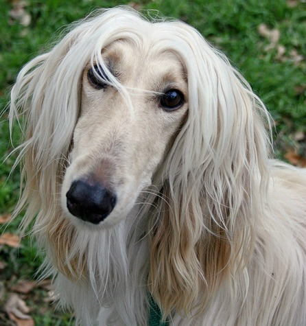 afghan hound everything you want to know about this large dog breed