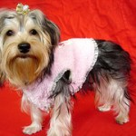 Give Your Yorkie Haircuts and Save Grooming Costs!