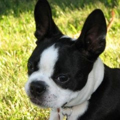 boston-terrier2017.jpg