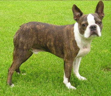 boston-terrier2079.jpg