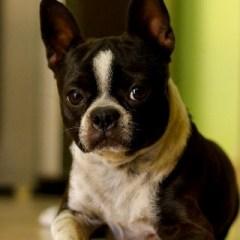 boston-terrier208.jpg