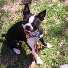 boston-terrier2089.jpg