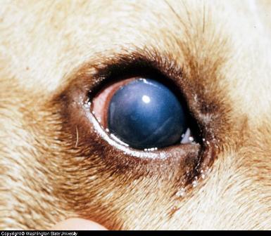 Hepatitis In Dogs