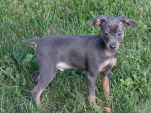Miniature Pinscher Dog Breed Information Pictures Amp More
