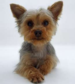 miniature yorkshire terriers are beloved toy dog breeds with a good