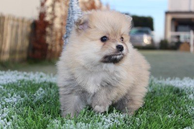 Pomeranian pups for sale