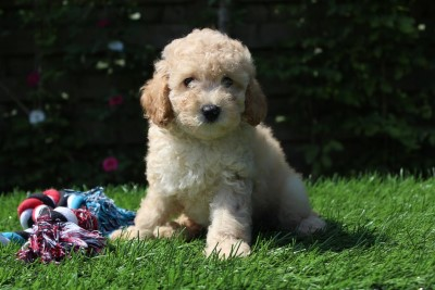 Poodle pups for sale