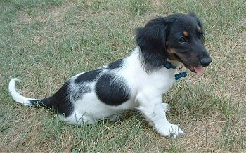 Dachshund Dog Breed Information And Pictures