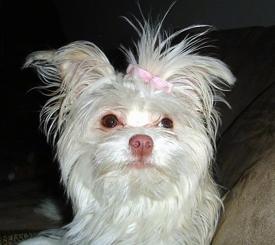 malchi dog breed pictures 1