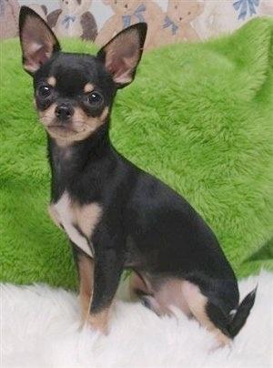 https://i2.wp.com/www.dogbreedinfo.com/images18/ChihuahuaViansBigMacAttackMac33.JPG
