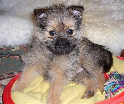griffon chihuahua mix for sale brussels griffon chihuahua mix for sale