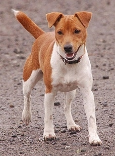 Plummer Terrier Dog Breed Information And Pictures