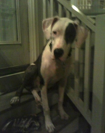 american bull dane information and pictures american bulldog great