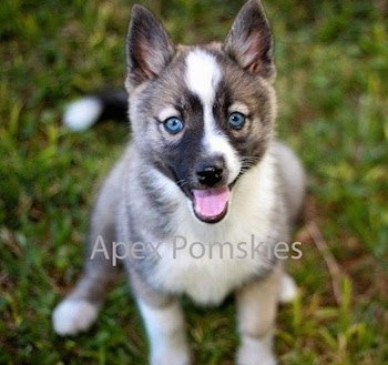Noki the Pomsky as a puppy at 10 weeks old