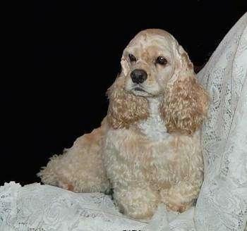 https://i2.wp.com/www.dogbreedinfo.com/images6/American_cocker_Bradulace.jpg