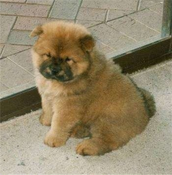 Brown Dog That Looks Like A Teddy Bear Best Bear - 28 adorable dogs that actually look like tiny teddy bears