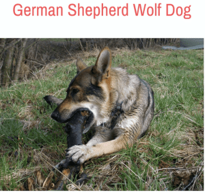 German Shepherd Wolf Dog Mix