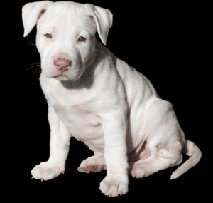 Typical White Pitbull Puppy