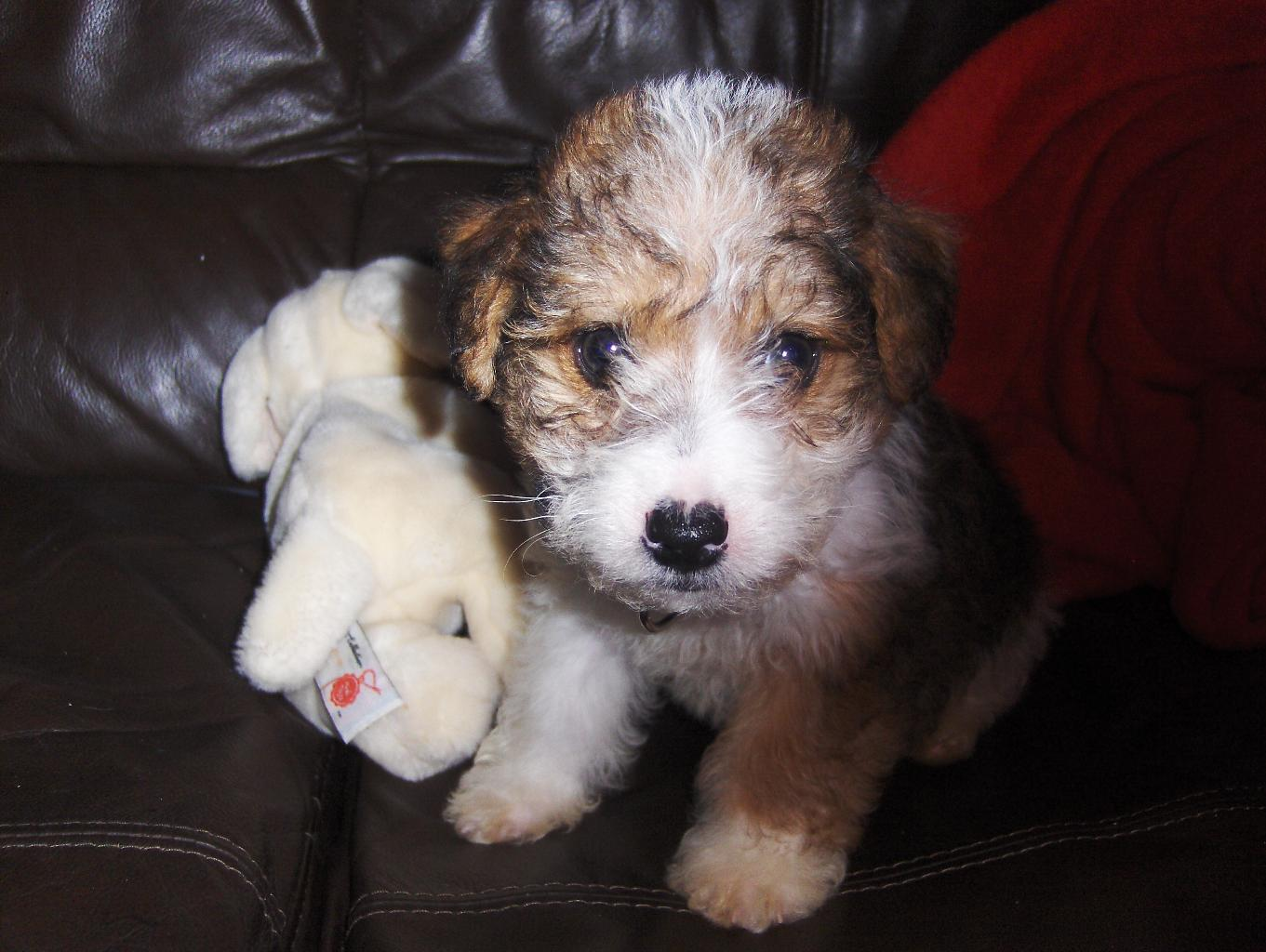 Curly Haired Jack Russell DogCast Radio