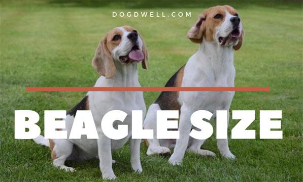 beagle-size