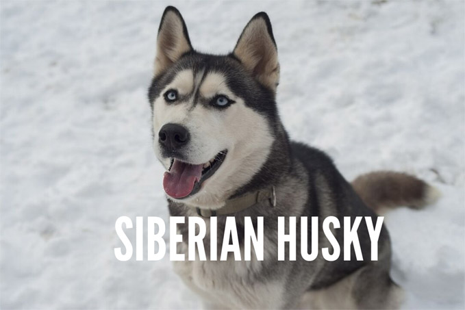 siberian-husky-temperamentnt