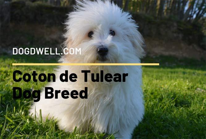 Coton-de-Tulear-Dog-Breedd