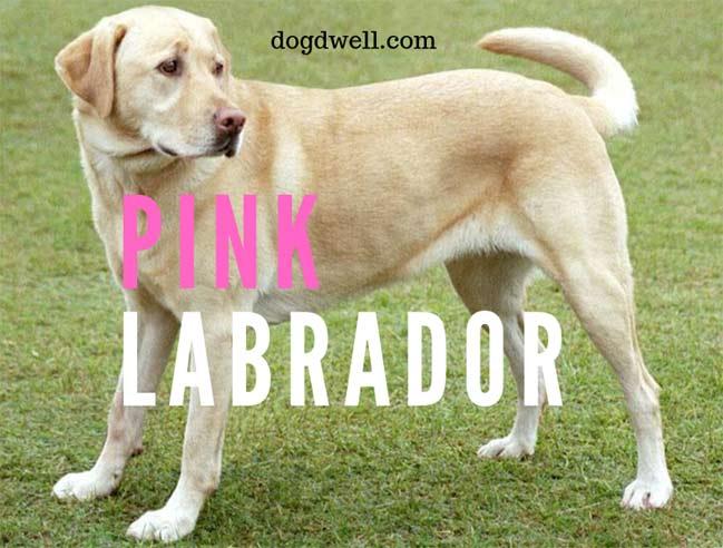 pink-labrador