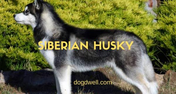 Siberian Husky Color