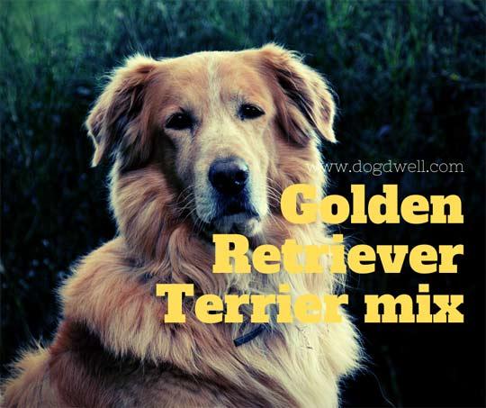 golden retriever terrier mix