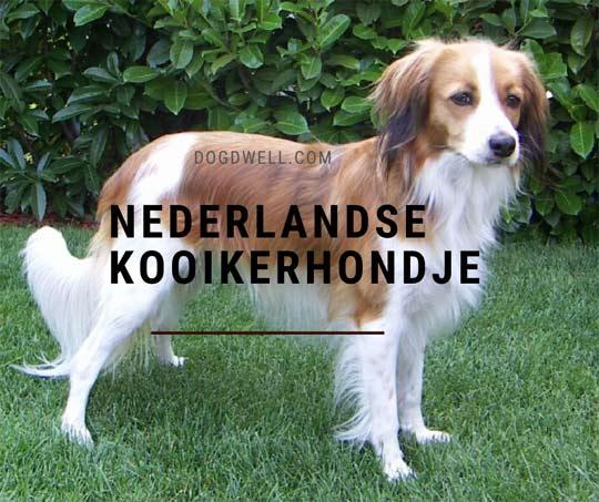 nederlandse kooikerhondje