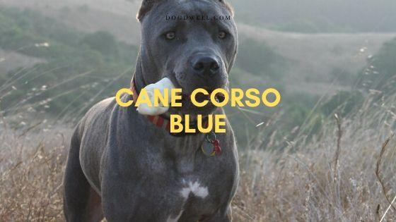 cane corso blue