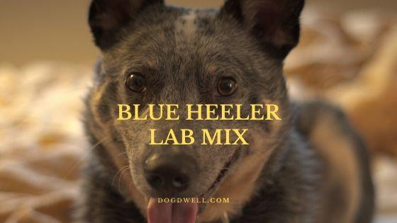 Blue Heeler Lab Mix