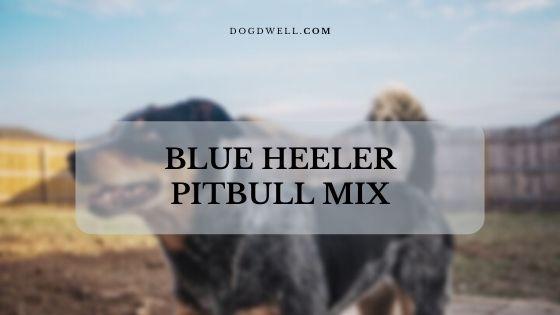 Blue Heeler Pitbull mix