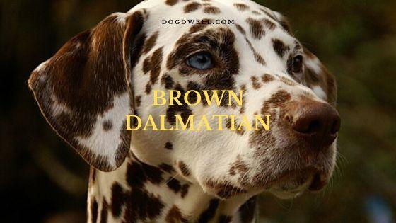 brown dalmatian