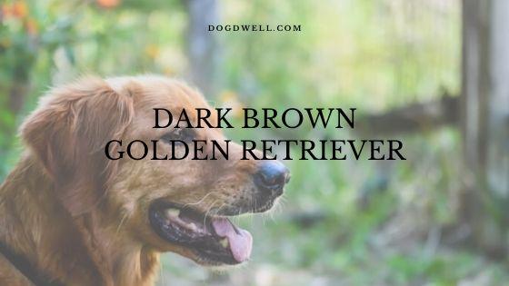 dark brown golden retriever