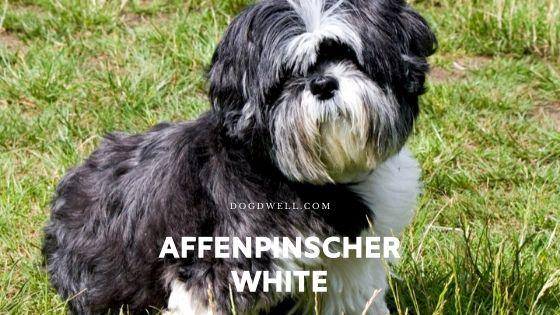 affenpinscher white
