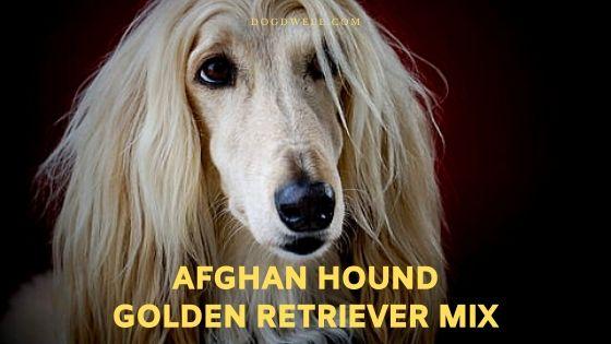 afghan hound golden retriever mix