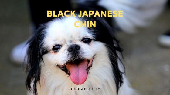 black japanese chin