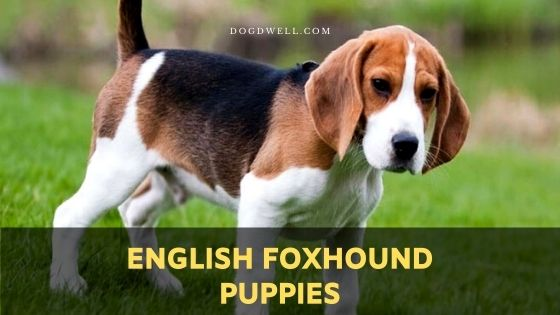 English Foxhound puppies