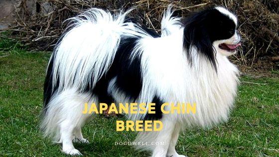japanese chin breed