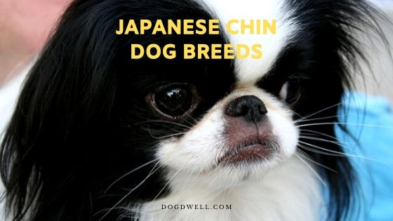 japanese chin dog breeds