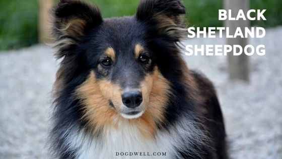 sable merle sheltie