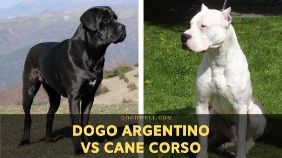 dogo argentino vs cane corso