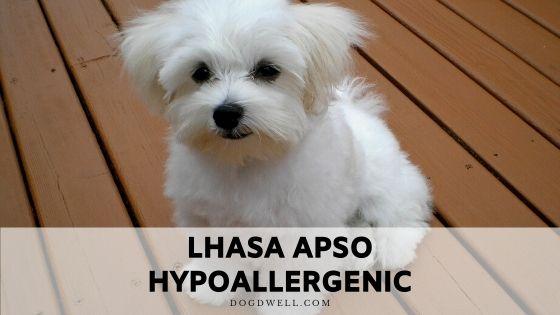 lhasa apso hypoallergenic