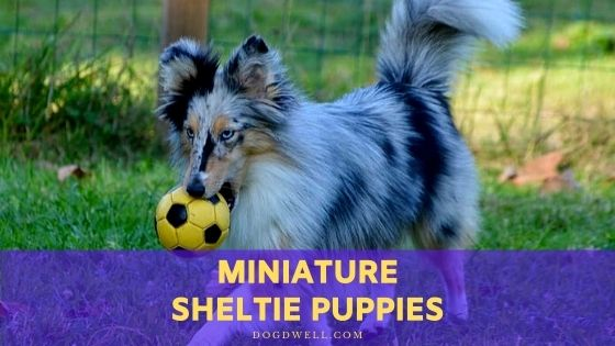 miniature sheltie puppies