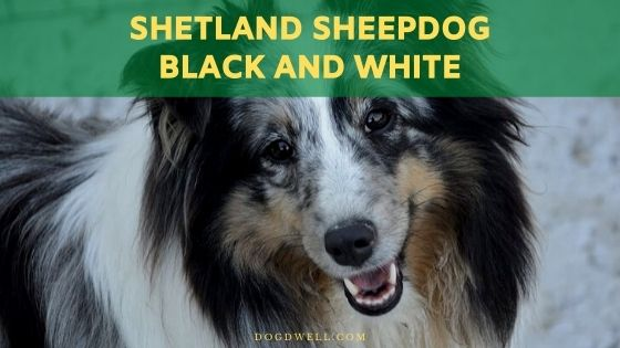 shetland sheepdog black and white