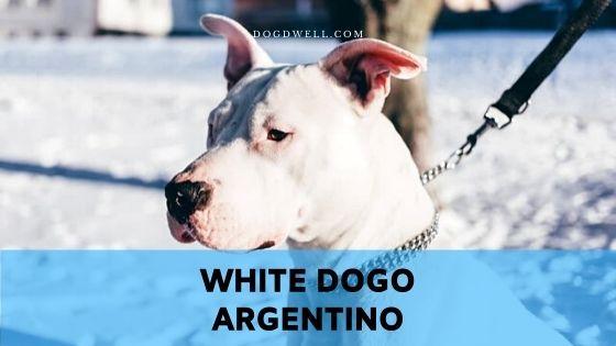 white dogo argentino